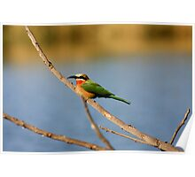 white fronted bee eater - Lower Zambezi National Park Poster