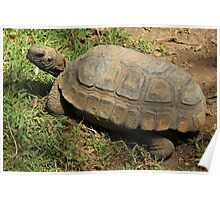 Amazon River Turtle Poster