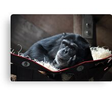 Resting Chimp Canvas Print