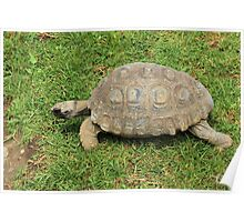 Amazon River Turtle Crawling on Grass Poster