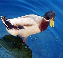 What You Lookin At Huh....Never Seen A Duck Before... by Toni Kane