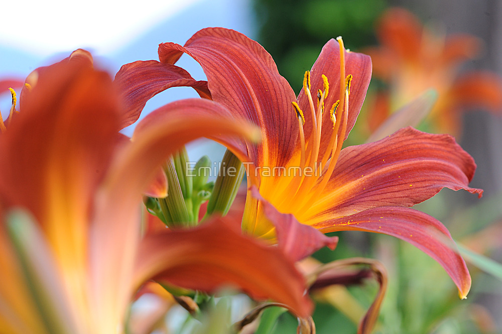Day Lily by Emilie Trammell