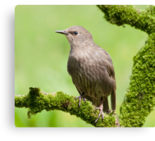 Starling (Juvenile) Canvas Print