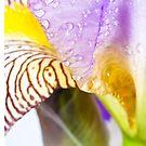 Iris Macro 1 by doorfrontphotos