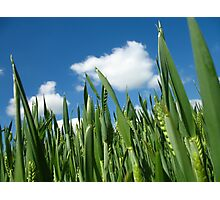 Green Wheat Field Photographic Print