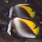 Singular Bannerfish by Mark Rosenstein