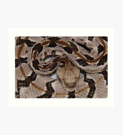 Ready To Strike,  Tember Rattle Snake! Art Print