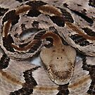 Ready To Strike,  Tember Rattle Snake! by NatureGreeting Cards ©ccwri