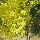 Colour of Spring in NSW (Australia) by Lunaria