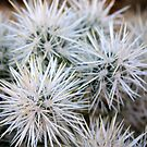 Cactus Joshua Tree National Park by ACBPhotos
