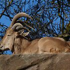Barbary sheep, Adelaide Zoo by Adam Jan Dutkiewicz