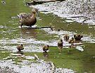 Baby Duck Herding by Veronica Schultz