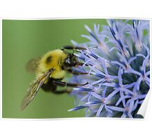 Bumblebee on Globe Thistle. Poster