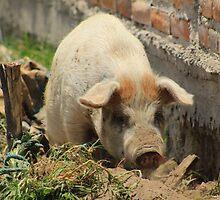 Pig in Mud on a Farm by rhamm
