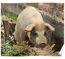 Pig in Mud on a Farm Poster