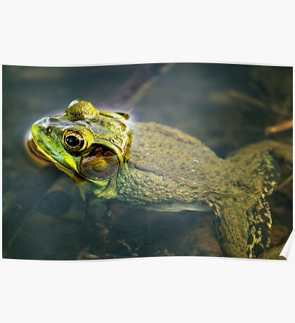 Frog in Water Poster