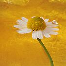 camomile by photofairy