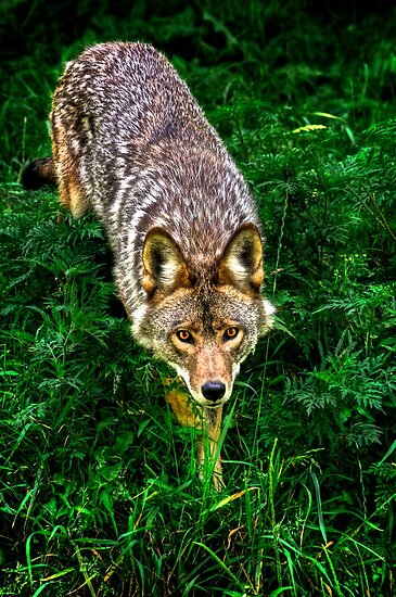 on the prowl  by Andre Faubert