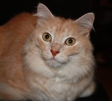 Adorable Turkish Angora by felinefriends