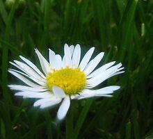 Daisy by Bouzz