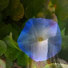 Blue Morning Glory by coppertrees