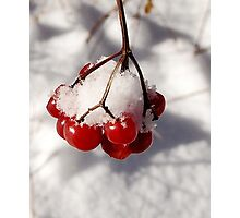 American Cranberries in Snow Photographic Print