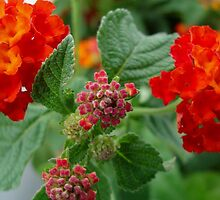 Orange Lantana - close up by ctheworld