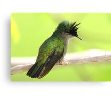Antillean Crested Hummingbird Perched on a Branch Canvas Print