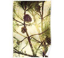 Image of pine cone on Long Leaf Pine tree, North Carolina Poster