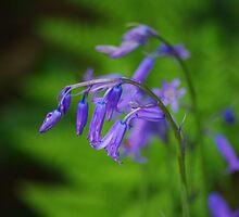 bluebells by lukasdf