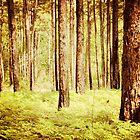 Image of Long Leaf Pine forest, North Carolina by Jennifer Westmoreland