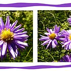 Asters by Denise Abé