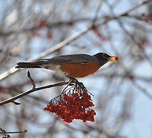 Robin eating by worretphoto