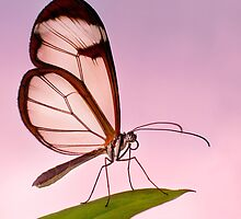 Glasswing Butterfly by cameraimagery