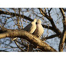 Collared Doves Photographic Print