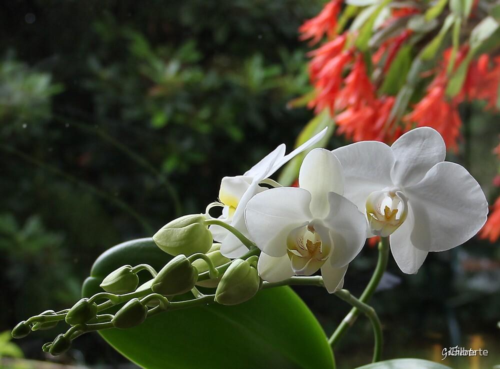 Phaleanopsis - Kalanchoë by Gilberte