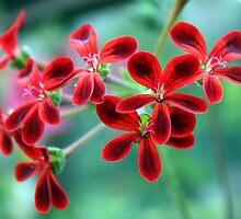 Pelagonium x Ardens by DianeAleta