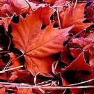 Red Maple! by Guy Jenkins