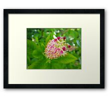 Ruby Spice Framed Print