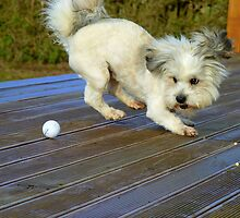 I'll Teach You How To Putt..Watch This! - Mojo - Shih tzu Bichon - NZ by AndreaEL