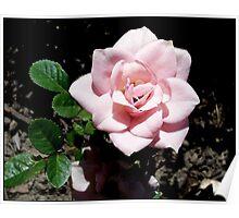Pastel Pink  Rose Poster