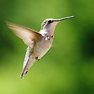 Female Ruby Throated Humming Bird 11 by Molly  Kinsey