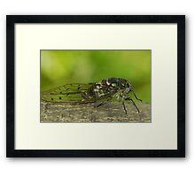 cicada singing ( for challenge) Framed Print