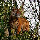 Tiger standing tall by Cat Brady