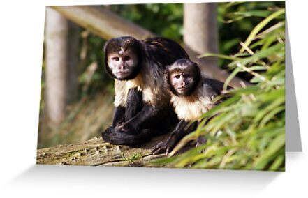 Capuchin Monkeys looking out by Cat Brady