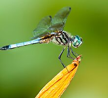 Blue Dasher Dragonfly on Dayliy by (Tallow) Dave  Van de Laar