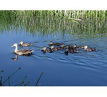 Mallard Hen with Ducklings Photographic Print
