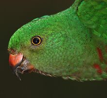 Mother Nature's Finest Work - The Female King Parrot by Jacqueline  Murphy