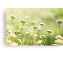 Everyone is beautiful - Miniature daisies  Canvas Print