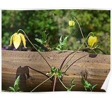 Small Yellow Clematis Poster